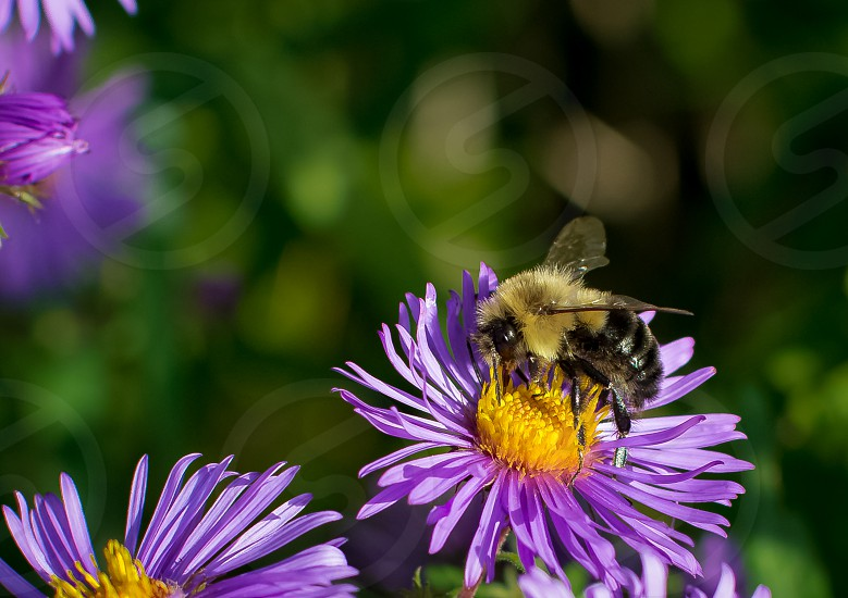 focus photo of bee getting nectar on purple petaled flower photo