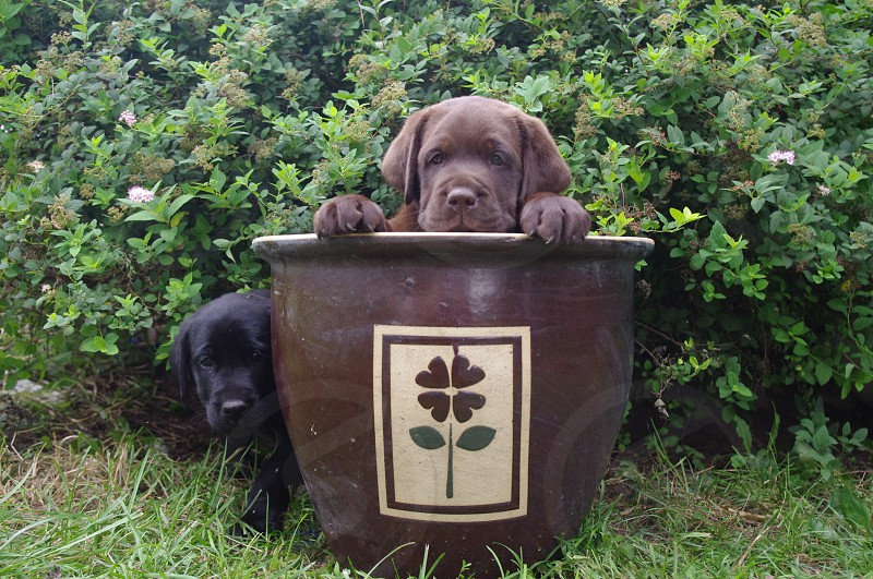 Six week old labrador puppies with a flower pot. photo