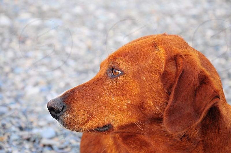 brown long haired medium dog photo