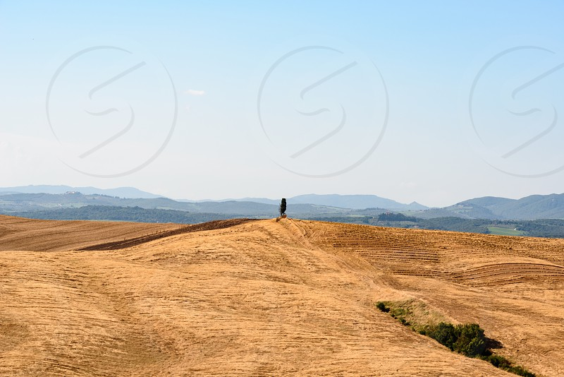 A cypress tree alone at the top of a hill in Tuscany near Siena during summer photo
