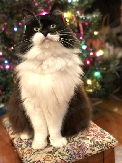 Merry Christmas Christmas holiday Christmas tree decorations cat feline posing portrait pretty green eyes Maine coon photo