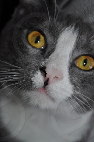 Close up of a Beautiful Cat Orange eyes  photo