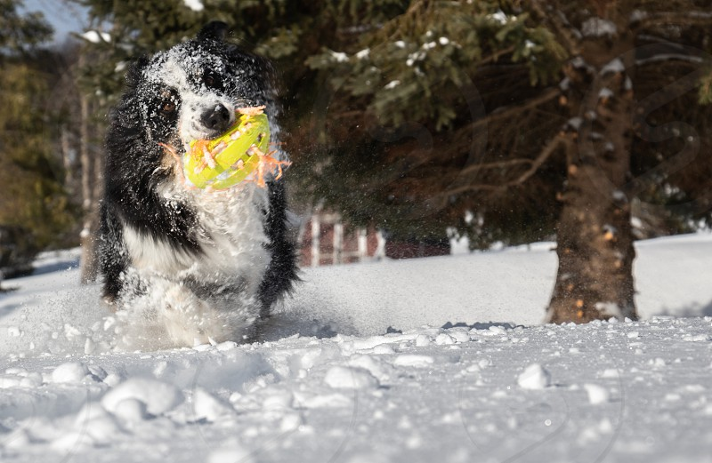 A farm dog enjoys a game of football fetch in the deep new winter snow . photo