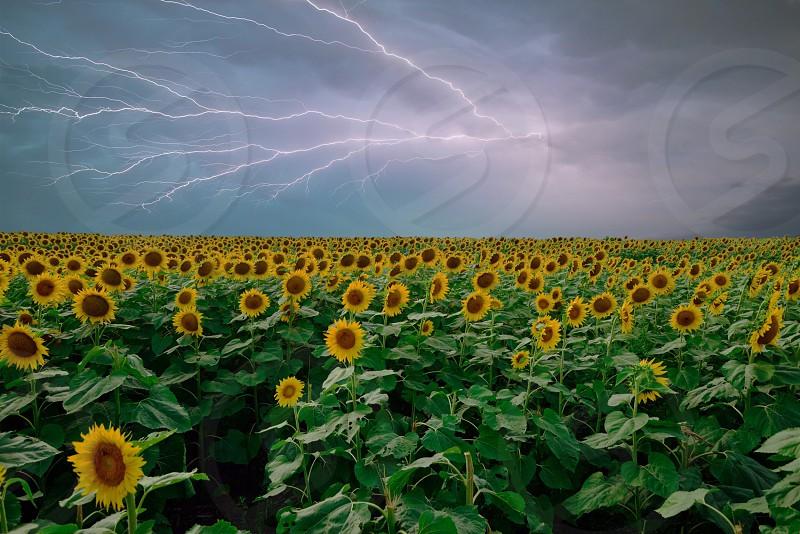 Kansas sunflowers lightning severe weather photo