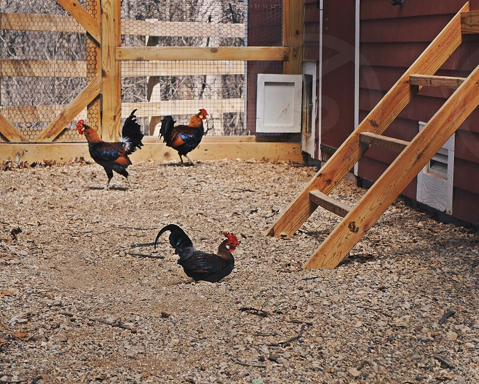 Chickens in coop photo