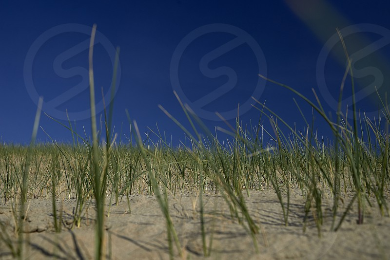 Close up of reeds in the dunes and sand photo