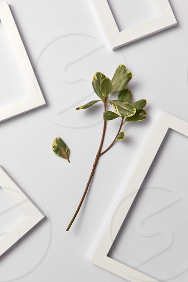 Herbal composition with fresh natural ficus leaf and empty frames on a light gray background. Place for text. Flat lay. photo