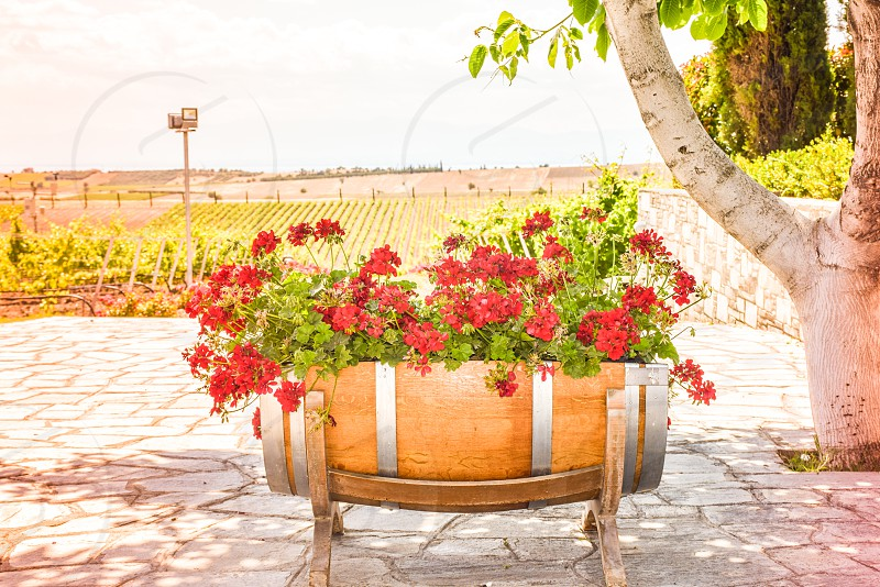 Wooden Barrel Flower Pot With Red Bright Geraniums photo