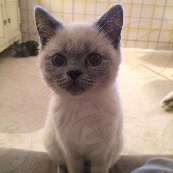 British shorthair colourpoint kitten photo