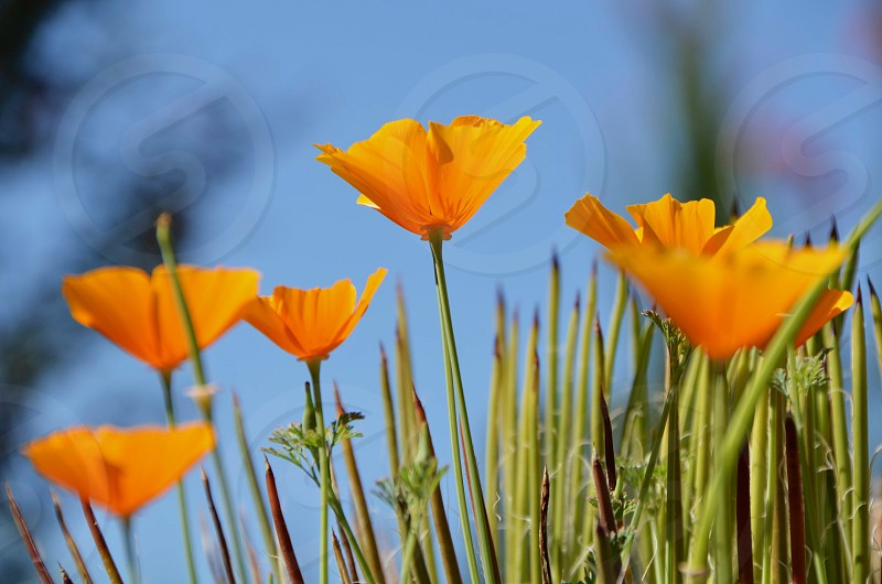 Spring flowers - California Poppies photo