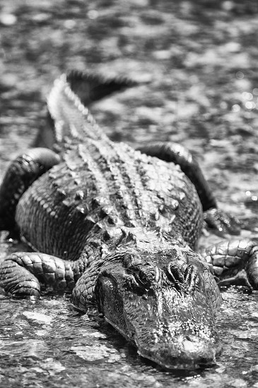 An American Alligator in the Florida everglades. photo