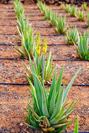 Aloe Vera field at Canary Islands of Spain photo