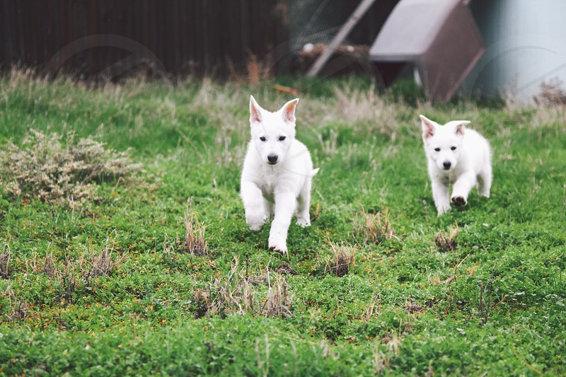 2 white short coat puppies photo