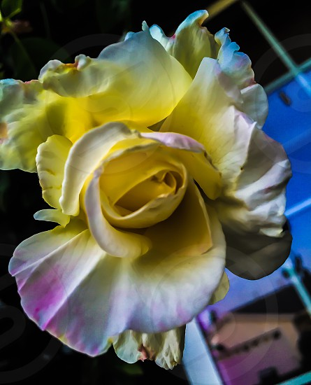 close up photo of a white yellow and purple petal clustered flower photo