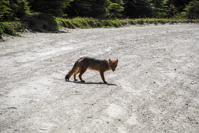 a wild little grey and red fox walking on the road and staring photo
