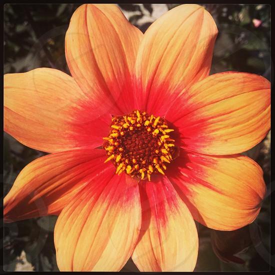 Summer Flower Gotland Sweden photo