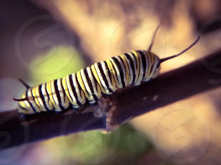 caterpillar yellow white black stripes  photo