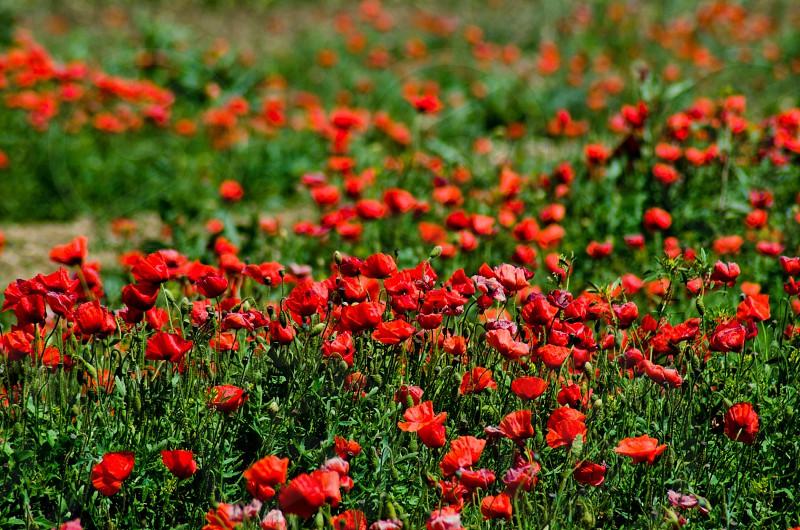red petaled flower field photo