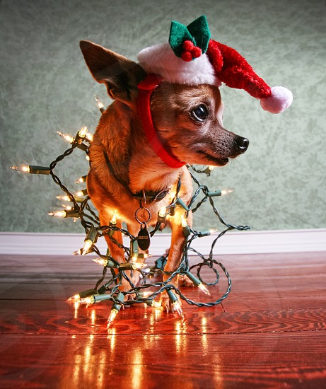 animal baby background ball bred canine cap card celebration chihuahua christmas claus cute decoration dog festive floor flooring fun gift glowing greeting happy hard hardwood hat holiday lights mammal merry mistletoe ornament party pattern portrait profile pup puppy pure purebred purebreed reflection santa season snout string tiny wallpaper wood xmas  photo