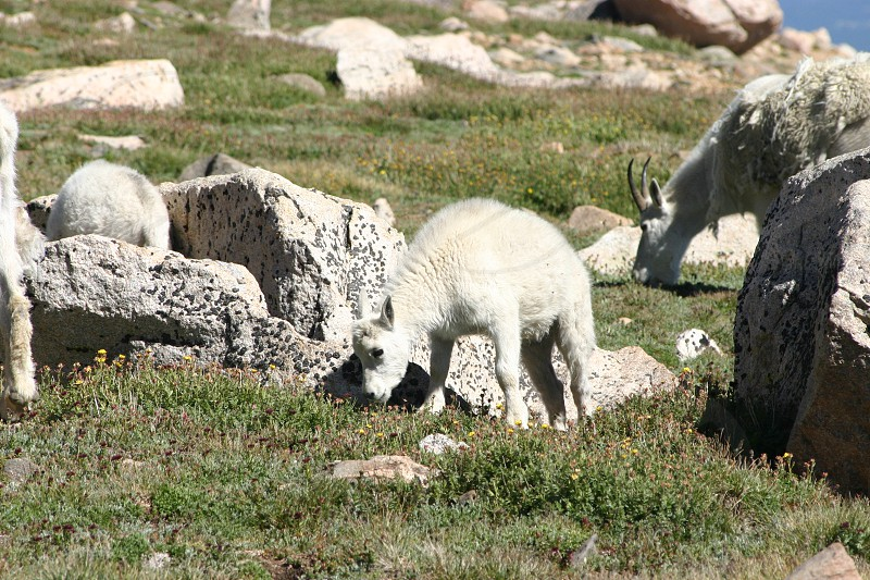 Young kid mountain goat feeding on grass and flowers in the mountains of Colorado on a sunny day photo