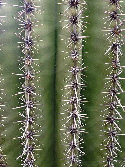 Cactus needles photo