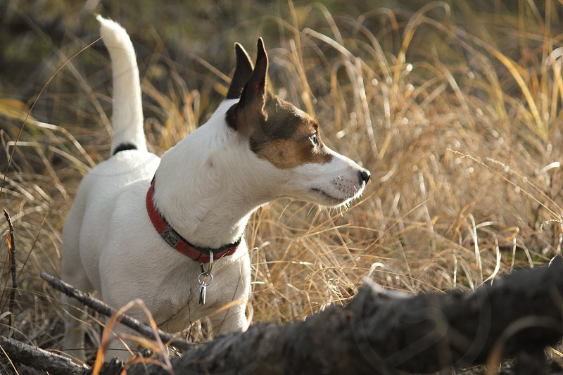 Young Jack Russell Terrier dog standing in tall yellow grass looking at something in the distance. Her gaze smart her strong body highlighted by the late afternoon sun. photo