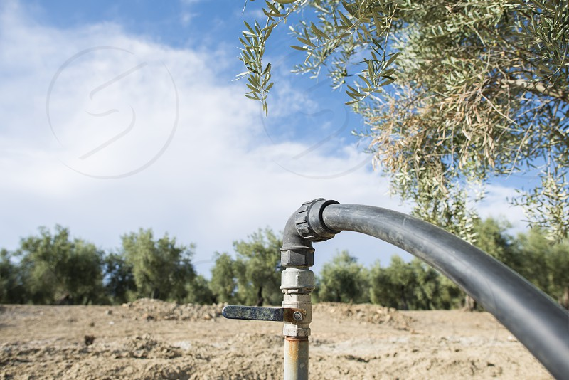 Olive trees and irrigation systems photo