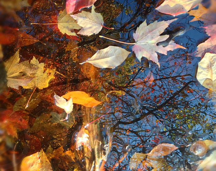 Blue sky and trees reflected in leaf-strewn water photo