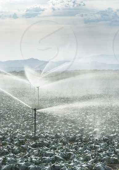 Watering cabbage with sprinklers. Blue sky photo