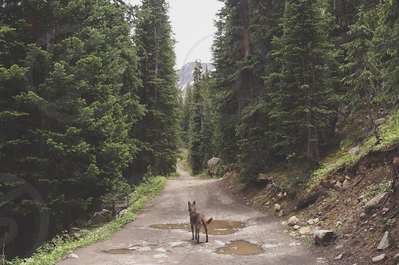 Dog puppy Australian kelpie explore nature trees forest trail hike run Colorado mountains adventure photo