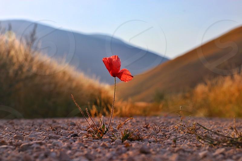Poppy red flower blossom nature road  photo