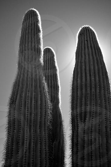 Standing Tall - Arizona photo