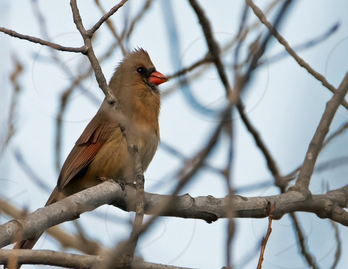 Female cardinal bird cardinal photo