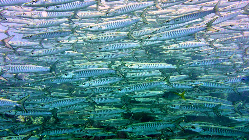 A flock of fish in Red sea Eilat Israel.                     photo