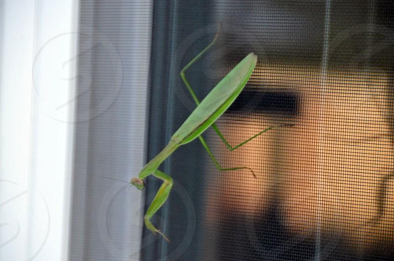 Praying Mantis insect screen  photo
