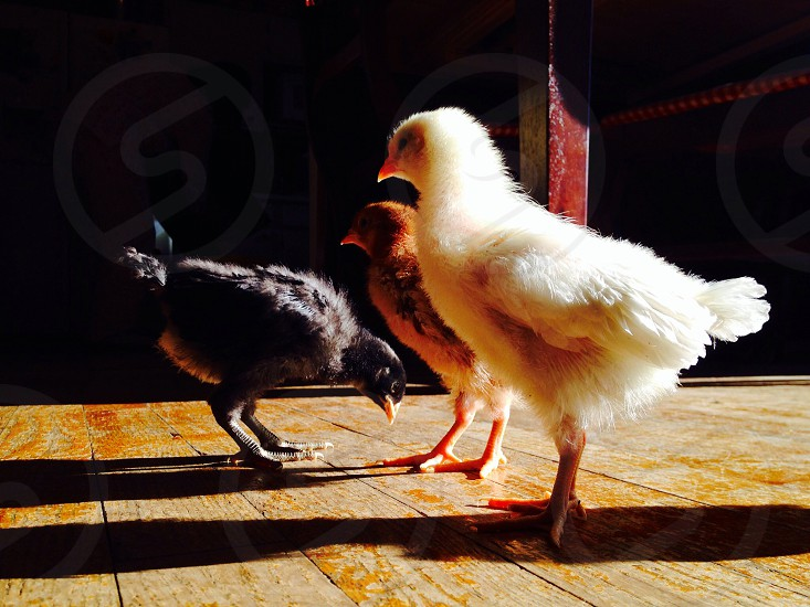 Baby chicks photo