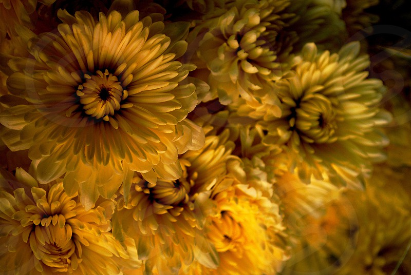selective focus photography of yellow petaled flowers photo