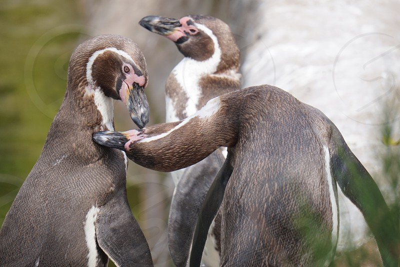 Penguins in a zoo photo