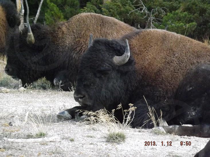 Buffalo bison Yellowstone photo