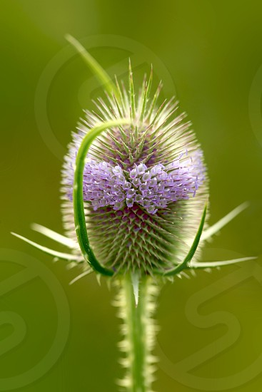 purple thistle in bloom photo