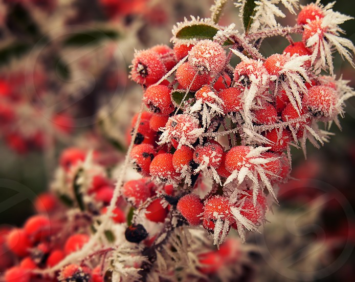 Frosted red berries photo