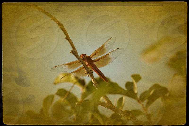 Red dragonfly on branch with aging filter photo