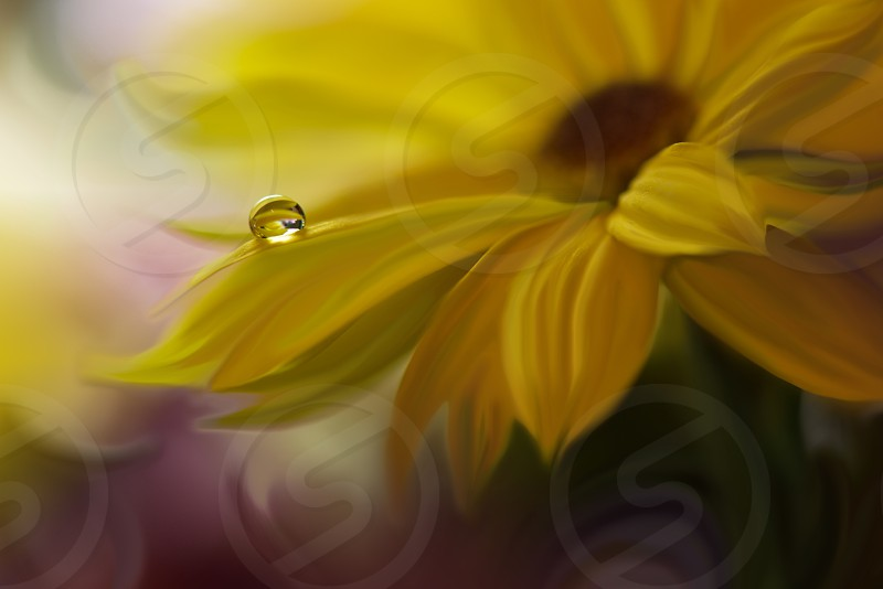 Reflection of the flower in the dew drop. A drop of water on the petal of a yellow flower close-up macro. Gentle romantic spring artistic image. Soft pastel background blur . photo