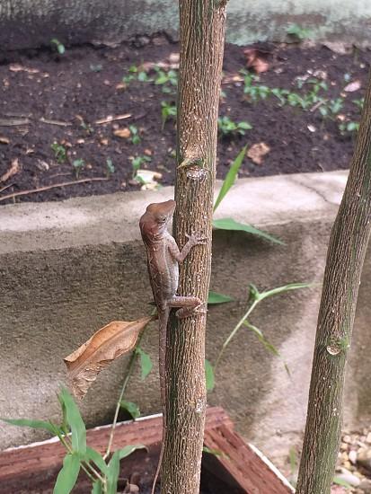 Lizard...Dominican Republic photo