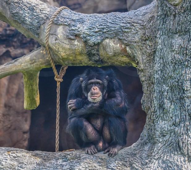 Grumpy Chimp photo