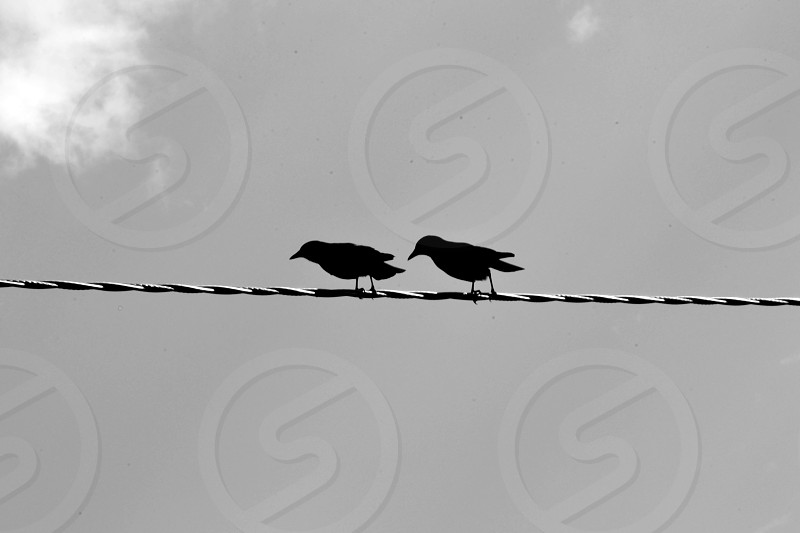 Crows on wire  photo