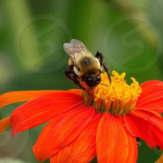 carpenter bee perched on orange petaled flower in closeup photography photo