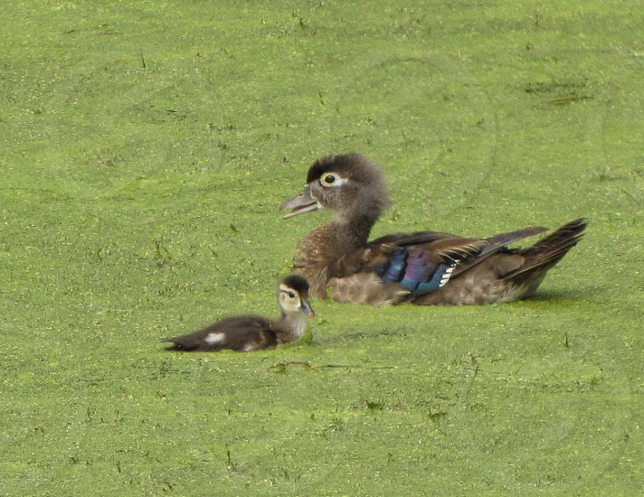 Mother and baby wood ducks on algae covered water. Ridgefield Wildlife Refuge.  photo