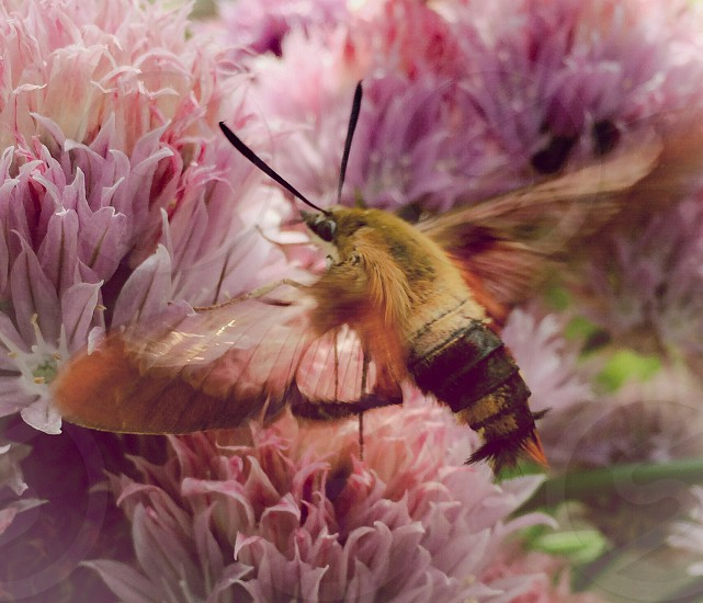 brown and black moth flying over pink flowers photo