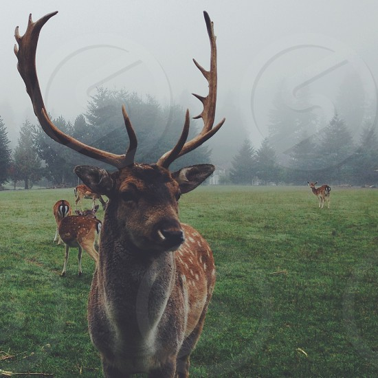 Oregon Deer photo